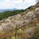 200種3万本の桜が咲く 吉野山の桜【奈良】